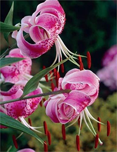 1 Lilium speciosum Uchida Lilie Blumenzwiebeln (1 Zwiebel)