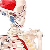 【frugolio casa】【高品質】 人体骨格模型 直立 スタンド 付 高精度 筋肉起始 85cm 1/2モデル - 8.3602