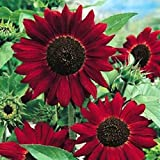 RED GIANT SUNFLOWER - RED SUN - HELIANTHUS ANNUUS - 80 HIGH QUALITY...