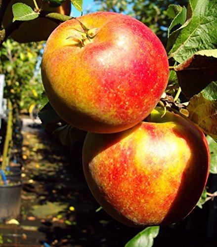 Delgrina Zwergapfel, Apfelbaum für den Balkon, Malus domestica, Zwergobst winterhart, Apfel gelb rot, im Kübel, 40 - 60 cm