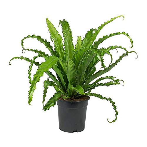 Japanese Bird's Nest Fern - Live Plant in a 4 Inch Pot - Asplenium...