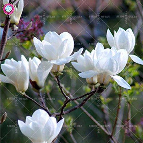Promotion !! 5 pcs/sac Fleurs Magnolia graines beau Bonsaï Graines Facile pour cultiver jardin des plantes ornementales bricolage coloré 3