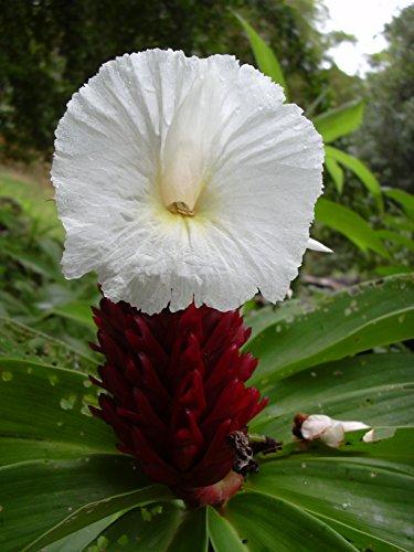 INGWER, Costus Speciosus, Spiral-Ingwer, exotische Pflanze 20 Samen !!