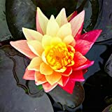 Semillas nenúfar,Hierba acuática perenne,Flores...