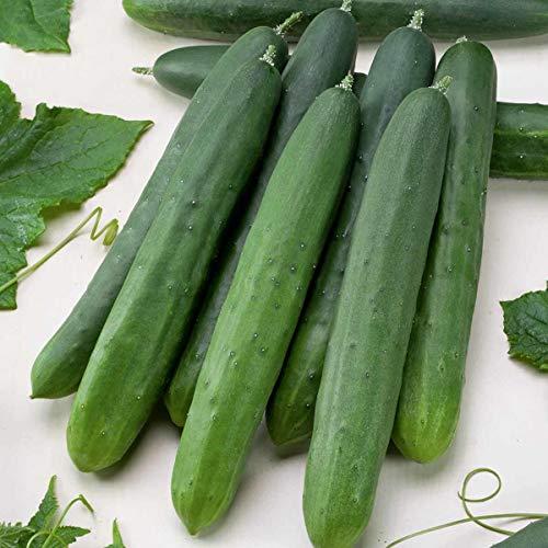 tomgarten Schlangengurke 'Saladin F1' | Saatgut | robuste Gewächshausgurke | für 8 Pflanzen