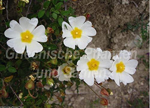 AGROBITS salbeiblättrige ZIST Ciste 50 Buck Flower