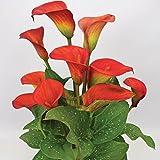 3 x Cormes de Zantedeschia 'Red Alert'- Arum ou Calla Rouge - Bulbes d'Eté