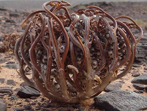 Portal Cool 100 semi: Anastatica hierochuntica Semi di senape bianca Fiore vera Rosa di Gerico Marys