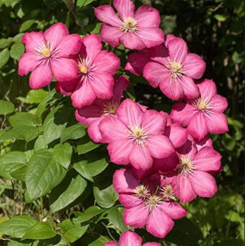 3pcs Clematis Lampen Mehrjährige Heirloom Rare Sorten Wunderschöne Klettern Landschaft Outdoor Gärten Hof Terrasse Pflanzen Dekoration Blume Hinzufügen Farbe