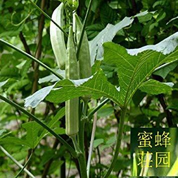 GEOPONICS Feine Gemüse Samen rot Okra Samen Hörner Niere Pulver etwa 20 Samen Gelb