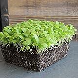 Chrysanthemum Flower Garden Seeds - Broad Leaf, Edible - 1 Oz - Non-GMO, Annual Wildflower &...