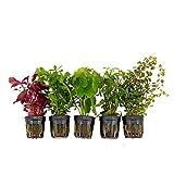 5x Wasserpflanzen Aquarium 'Fantastische Frische' | Aquariumpflanzen Set echt | Höhe 15 cm | Topf-Ø 5 cm