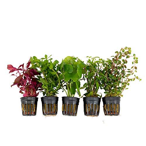 5x Plantes aquatiques - Mix FRAIS & FLASHY | Décorations d'aquarium | Plantes pour aquariums | Hauteur 15 cm | Pot Ø 5 cm
