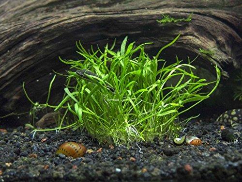 Neuseelandgras / Lilaeopsis novae-zelandiae - Aquarium-Pflanze, 1 Bund