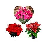 300 PC / Beutel, Poinsettia Samen, DIY Topfpflanzen, Indoor / Outdoor-Topf Blumensamen Keimrate von 95% Mischfarben