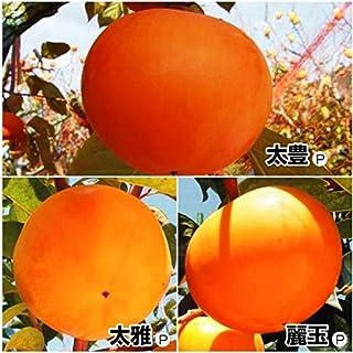 国華園 果樹苗 カキ 完全甘柿いちおしセット 3種3株
