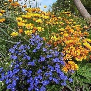 Vipérine Blue Angel Flower Seeds (Anchusa Capensis) 200 + Graines
