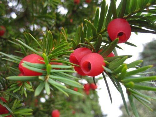 25 x English Yew tree seeds (taxus baccata) tree seeds.