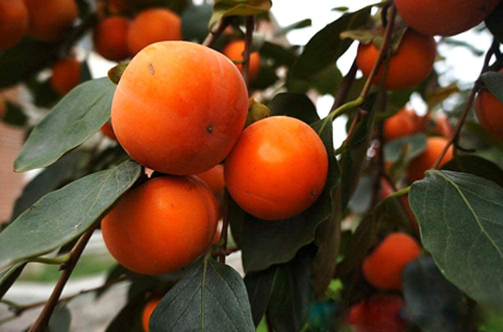 S-pone, 10 Persimmon Fruit Tree Seeds Mixed Delicious Japanese Bonsai Plant Home Garden