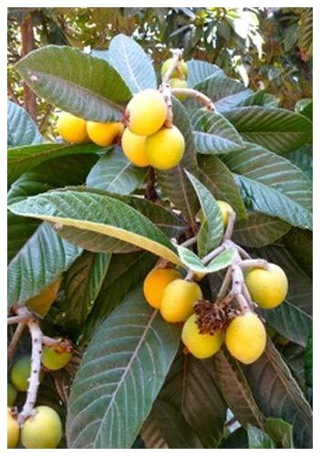 TROPICA - Cassia rouge arbre/Arbre de douche rouge (Cassia marginata) - 8 graines- Magie tropicale
