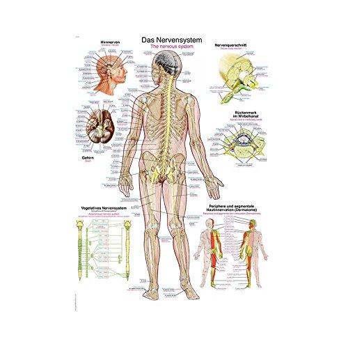 """anatomische Lehrtafel """"Das Nervensystem"""" Anatomie Poster, Lehrposter, 50x70cm"""
