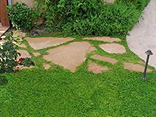 Herniaria Glabra Seeds - Green Carpet,Rupturewort- Lawn Alternative,Ground Cover,Grow in Poor Soil and Gravel ! ! (600 Seeds) by AchmadAnam