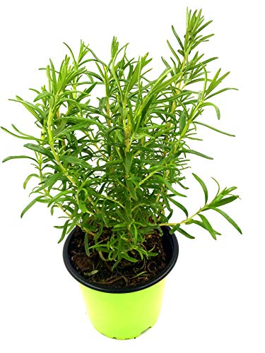 Rosmarin Pflanze Rosmarius officinalis Kräuter Pflanzen 2stk.