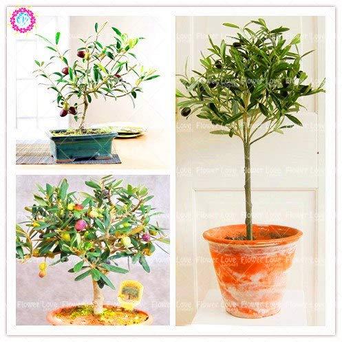 Elitely 5 Stcke Bonsai Olive Bonsai Tree (Olea Europaea) Samen Mini Olivenbaum Samen Essbare Gemsesamen Mehrjhrige Garten Topf