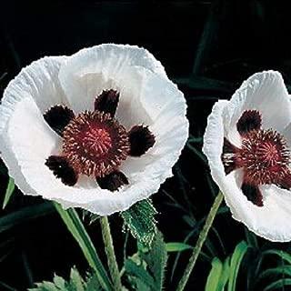35+ Royal Wedding Papaver Black & White Poppy Flower Seeds OND-0366