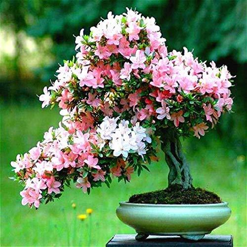 Xianjia Garten - 10 PCS Bonsai-Bäumen Samen selten japanischen Sakura-Samen Bonsai-Blume Kirschblüten Mischfarbe Garten mehrjährig winterhart Topfpflanzen (1)