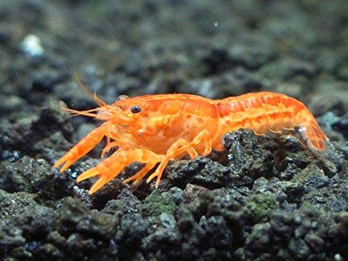 Aquatic Arts - 3 CPO Crayfish - Live Freshwater Aquarium Lobster/Crawfish/Crawdad/Real Living Nano Fish Tank Pet