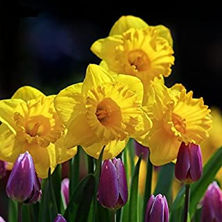 Daffodil Bulbs (Trumpet) - King Alfred - Bag of 20, Spring/Yellow Flowers with Orange Cup