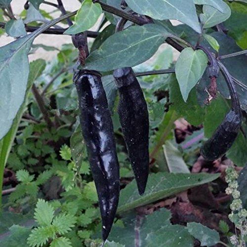 Vente chaude 50 saisons Cantaloup Melon graines Semer fruits Graines de légumes Graines Plantation douce Croustillant Balcon