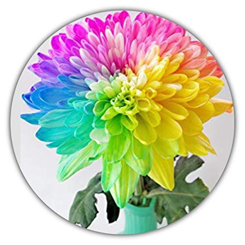 Arc-en-ciel Chrysantheme - env. Lot de 50 graines de couleurs merveilleuses - Idéal comme cadeau