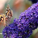 Buddleja Empire Blue - Sommerflieder / Schmetterlingsflieder - Duftend und Winterhard | 1,5 Liter Topf