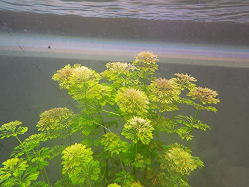 Aqua'lumenes Plantas acuáticas Oxigenantes para Acuario Agua Dulce. Limnophila sessiliflora,Ambulia