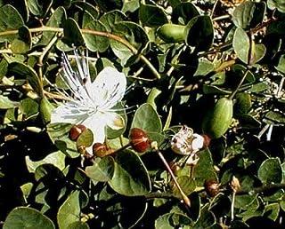 Alcaparra 50 semillas - Capparis - Veggie