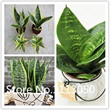 Best sansevieria seeds for sale Reviews