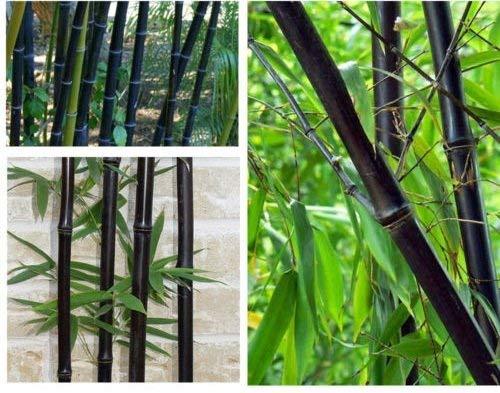 100 graines de graines fraîches bambou noir avec des instructions Phyllostachys Nigra