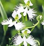 Adolenb Jardin- 100 pièces de fleurs d'oiseaux blanches japonaises rarement des graines de fleurs d'orchidées Graines de plantes Graines de fleurs vivaces Bonsaï pour balcon, jardin