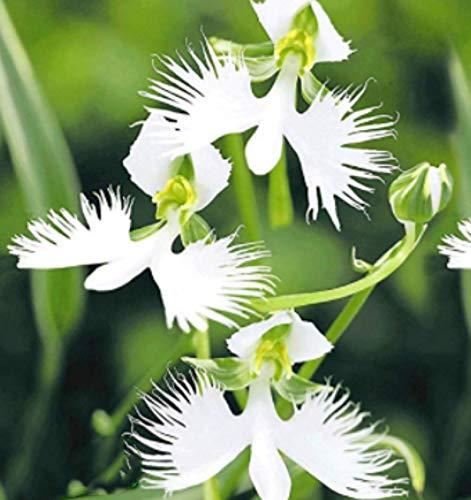 """Beautytalk-Garten 100 Stück Japanische Weiße Vogelblume\""""Habenaria Radiata\"""" selten Orchidee Blumensamen Zimmerpflanzen Saatgut winterhart mehrjährig Blumensamen Bonsai für Balkon, Garten"""