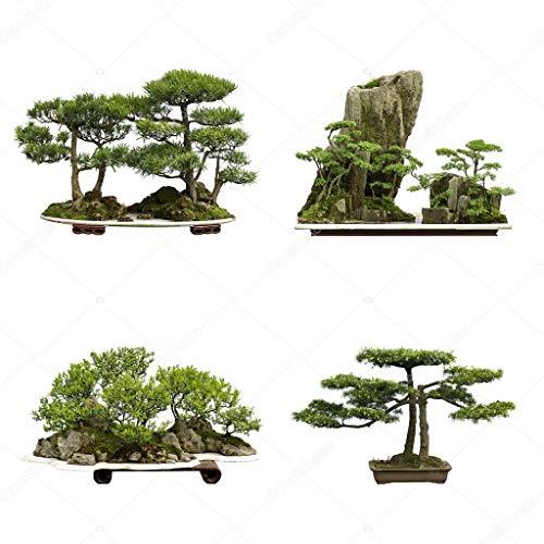 10PCS sacré Cèdre du Japon Graines Bonsaï Graines d'intérieur plantes jardin Décoration Miniascape Graines