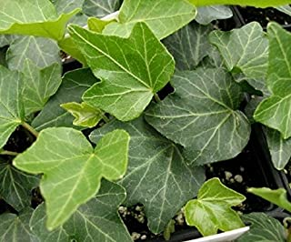 HEDERA Helix 'Baltic Thorndale - English Ivy - Starter Plant