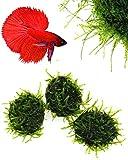 Live Aquarium Plants - Java Moss Stone pad (3 Pack)