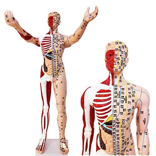 GH-YS 85Cm männliches Akupunkturmodell - Humanes Akupunkturmodell Massage mit Muskel - Super klare Beschriftung Halbhaut Halbmuskel Anatomie Skelett Modell der inneren Organe