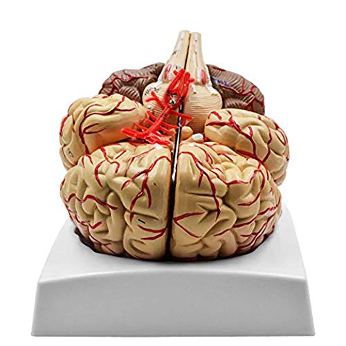 Human Brain Max 73% OFF Anatomical Model with Cerebral Artery Ranking TOP2 Nerve Pa 9 and