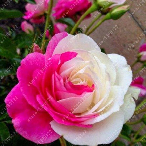 200pcs / sac rare multi-couleur rose graines rose rose balcon rare graines de fleurs bonsaï graines bonsaïs noir plante pour le jardin à la maison en pot 24