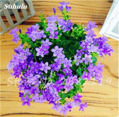 100 Pcs/Sac Rare Campanula Graines Chili Rosea Pots de fleurs Bellflower Plante à feuillage persistant pour balcon et jardin beauté de votre jardin 13