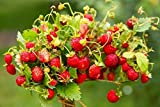 Semillas de fresa fresa regina - Fragaria vesca - 320 semillas