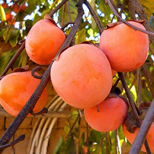 Inovey 30 Piezas/Pack Caqui Árbol Semillas Diospyros Kaki Fruta Semilla Hogar Jardín Bonsái Plantas